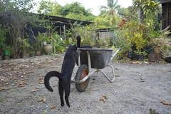 _DSC1043 (mohamad_hassrul) Tags: pet cats cute nature animal cat blackcat comey blackcats binatang cuteanimal catplay cutepet kucinghitam binatangcomel haiwanpeliharaan haiwancomel haiwanpeliharaancomel haiwanpeliharaancomey haiwancomey binatangcomey
