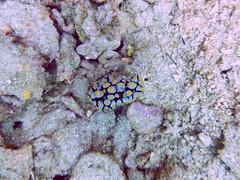 Koh Tao (Scuba Diving), Thailand (Jan-2016) 14-086 (MistyTree Adventures) Tags: ocean sea water thailand twins marine asia seasia underwater outdoor diving scubadiving nudibranch kohtao seaslug gulfofthailand panasoniclumix