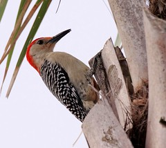 20160331 Carolina-Specht (Red bellied Woodpecker) K3II7745_DxO (AviFuzzi) Tags: park nature birds state pentax florida jonathan dfa dickinson 150450 k3ii