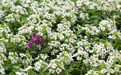 Kiss. (heightsfidelity) Tags: flowers white purple tilt alyssum tse90f28