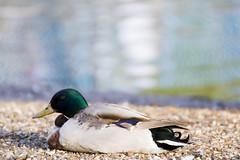 Tufted Duck (magicpicture.co.uk) Tags: park london birds wildlife stjamespark tuftedduck 70300 nikond40 nikond5200 dilpreetsohanpal wwwmagicpicturecouk