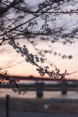 -126 (Mio:D) Tags: spring  cherryblossom ise