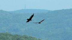 Birds over the Hills (blazer8696) Tags: 2016 bearmountain ecw fortclinton ny newyork t2016 usa unitedstates bird birds img8378