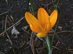 Crocus spec 4 (heinvanwinkel) Tags: nederland tuin 2008 krokus februari iridaceae nieuwkoop magnoliidae spermatophyta tracheophyta ixieae iridoideae lilianae euphyllophyta crocusspec bloemvandedag iridales iridineae