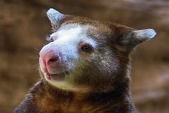 Matschies Tree Kangaroo (ucumari photography) Tags: sc animal south columbia carolina april riverbankszoo 2015 dendrolagusmatschiei dsc1339 specanimal matschiestreekangaroo ucumariphotogrphy