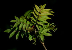 Sumac (Diane Marshman) Tags: red green nature leaves garden landscape bush pennsylvania tail sumac pa stems shrub ornamental northeast