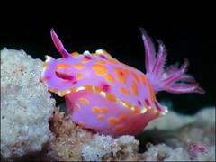 Nudibranch (Ceratosoma amoenum) (Brian Mayes) Tags: canon underwater australia scuba diving nudibranch pipeline nelsonbay 1711 g16 brianmayes ceratosomaamoenum canong16