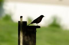 on guard (gdajewski) Tags: birds dof americanrobin teleconverter tc20eii nikkor70200mmf28gafsvr nikond7000 dajewski gdajewski
