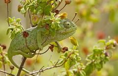 CHAMELEON (tony.cox27) Tags: chameleon