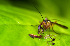 Happy Meal (Alfred Grupstra Photography) Tags: macro green leave insect eat