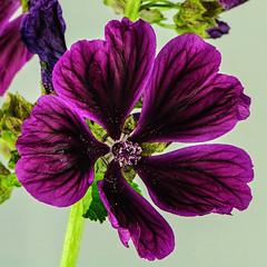 _DSC9664 (Mick.Gardner) Tags: flowers macro mallow