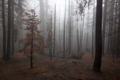 Alone in the Forest (oruwu) Tags: trees fog forest dead stand nationalpark alone cloudy yosemite ethereal delicate burned wiped