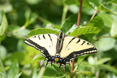 Western Tiger Swallowtail Butterfly (ivlys) Tags: usa california humboldtredwoodsstatepark avenueofthegiants eelriver fluss river schwalbenschwanz westerntigerswallowtail papiliorutulus schmetterling butterfly insect nature ivlys