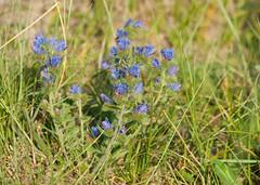 DSC_8102.jpg (Michael Emmerich (Photographer)) Tags: blueweed echiumvulgare flowers natternkopf wildflowers noordwijk zuidholland netherlands