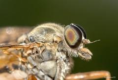 Robber Fly (darrensphoto123) Tags: macro eye nature 35mm lens outdoors fly wings nikon zoom reversed robber d5200