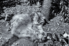 Cat napping (David Feuerhelm) Tags: blackandwhite nikkor cat animal contrast nikon d7100 silverefex