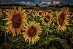 Sonnenblumen - Extrembearbeitung (pyrolim) Tags: frankreich lightroom bearbeitung effekte sonnenblumenfeld vergleich colorefexpro