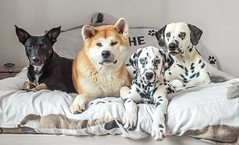 2016-06-07_12-47-53 (stphanielegay) Tags: family famille portrait dog chien dogs puppy photography photo poser eyes nikon photographie 4 bleu ami hugs lit mustang 70300mm akita dalmatian chiot complicity amiti pongo yume chiens regard complicit chiots quatre akitainu fier dalmatiner quatuor vairons fiert nikon3200 dalmatien fiasko chiennoir dogsblack chienjaponais dogsphotography photoanimal