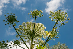 Giant Hogweed reaching for the blue sky (Landleven (Irma Lit)) Tags: white flower nature outdoor natuur wolken flevoland buiten geolocation heracleum blauwelucht reuzenberenklauw geocity polderarkemheen geocountry camera:make=nikoncorporation camera:model=nikond300 exif:make=nikoncorporation exif:lens=1801050mmf3556 geostate exif:model=nikond300 exif:focallength=32mm exif:aperture=50 exif:isospeed=200