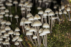 Ocean of shrooms.. (Erik0067) Tags: mycena small mushroom paddenstoel seta hongo pilze fungi funghi