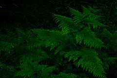 fougres (vieubab) Tags: bois calme extrieur fort feuillage fougres sonyflickraward lumire nature unlimitedphotos ombre plante verdure vert