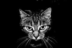 Focus (Z) Tags: bw white black cat chat noir tabby kitty gato katze gatto blanc tigre kot noirblanc tiggy
