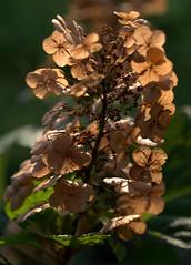 IMG_0134.CR2 (jalexartis) Tags: flowers summer flower blossom bloom hydrangea shrub shrubbery driedflowers oakleafhydrangea driedblossoms driedblooms