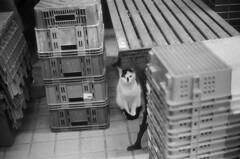 Leica_m_BW_6087_M50F14BP_cat (OPTIK AXIS) Tags: camera leica blackandwhite film cat dof bokeh taiwan monochromatic outoffocus 135     rf  50mmf14 leicacamera   blackandwhitefilm  summiluxm       analoguephotography    mp85   summiluxm11450 m garylevel summiluxm11450e46 blackpaintfinish summiluxm11450e46blackpaintfinish