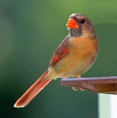 Northern Cardinal (Steve Liffmann) Tags: cardinal