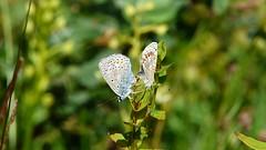 Blvingar (evisdotter) Tags: nature insect video butterflies fjrilar polyommatini blvingar