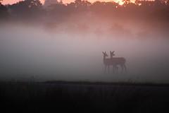 Two (Chaitanya Deshpande   Photography) Tags: morning dawn deer