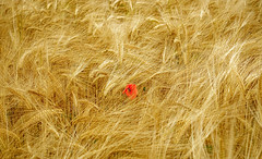 Dash of colour (Anthony White) Tags: wheat poppy nature beautyinnature tranquility uk gb england cereal outdoors zeiss