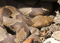 Copperhead 3 (nicoangleys) Tags: maryland herping snakes copperhead
