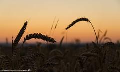 Evening in the grain fields. (andreasheinrich) Tags: sunset summer nature germany deutschland evening abend colorful warm sonnenuntergang sommer natur grain felder july fields bluehour juli blauestunde badenwürttemberg getreide farbenfroh neckarsulm dahenfeld