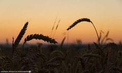 Evening in the grain fields. (andreasheinrich) Tags: sunset summer nature germany deutschland evening abend colorful warm sonnenuntergang sommer natur grain felder july fields bluehour juli blauestunde badenwrttemberg getreide farbenfroh neckarsulm dahenfeld