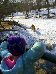 Minnesota Zoo (Ryner12) Tags: minnesotazoo applevalley zoo kajsa tiger amurtiger