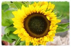 Sonnenblumen (ute_hartmann) Tags: