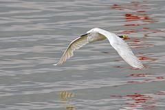 Little Egret (keynowski) Tags: littleegret kkakbalkl ngc animalplanet