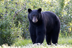 The look in his eyes (Maja's Photography) Tags: blackbear bc bears wildlife wilderness wild walking animals amazing nature canon portrait forest