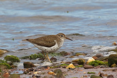 Spotted Sandpiper (Chris B@rlow) Tags: actitismacularius spottedsandpiper sandpiper wader shorebird bird birds lothian dunbar scotland canon canon7d sigma britishbirds birdsinuk wildlife nature johnmuirway animals