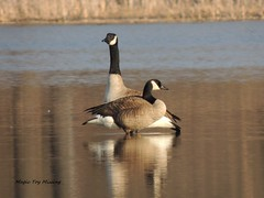 MTM - 13.04.07 (~Life in General~) Tags: reflection water geese pond weeds woods pair swamp breed mates