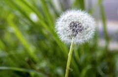 Dandelion  (tsaiian) Tags: life white plant flower green nature grass closeup spring stem weed background taiwan seed fresh dandelion seeds growth taoyuan foursquare:venue=4d886f2f7d4c5481d2fb3e71