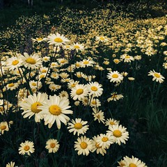 Simplicity (FreeSpirit_MN) Tags: life flowers flower green field grass sunshine minnesota yellow photography photo spring pretty growth simplicity daisy bloom bud bliss simple dainty endless medow