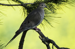 Mourning Dove (Becky Matsubara) Tags: lasgallinas lasgallinaswildlifeponds sanrafael birds dove mourningdove nikon nikond300 d300 afsnikkor80400mmf4556gedvr marin zenaidamacroura