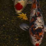 鯉と紅葉 / Autumn Leaves on Koi Pond thumbnail