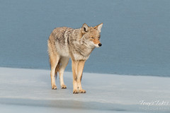Male coyote patrols the ice