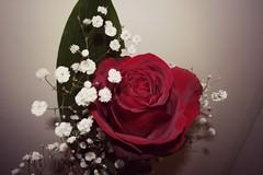 rosa rossa (tittina64) Tags: verde rose colore rosa foglia fiori antico bianchi smeraldo rosse stupendo fiorellini effetto nebbiolina spigolo modifica