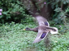 Mallard (jeffallsebrook) Tags: bird nature canon duck wildlife flight somerset mallard