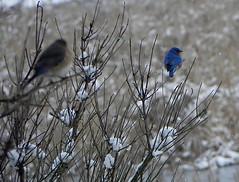 bluebirds in winter (Salamanderdance) Tags: blue winter boy snow male bird girl female pair bluebird eastern sialis