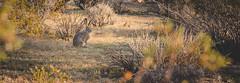 Mr. Jack (celder88) Tags: california morninglight joshuatree mojavedesert jackrabbit